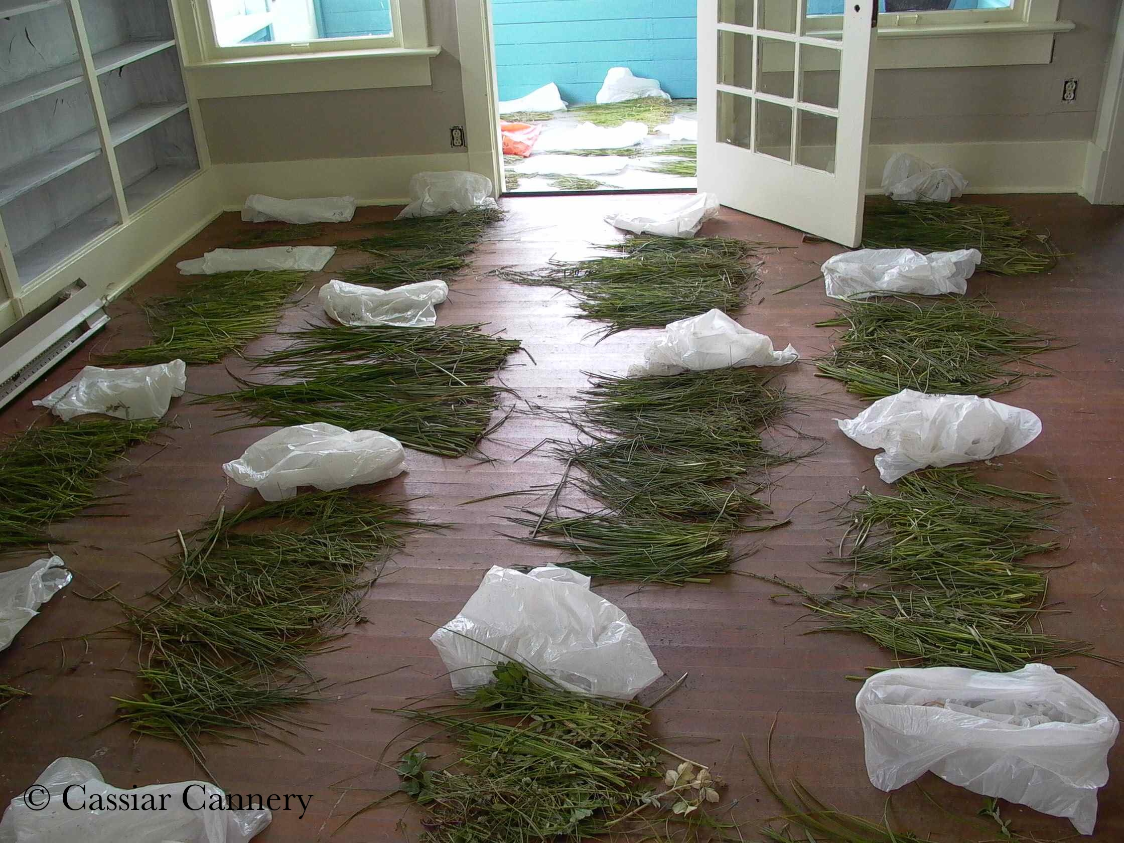 Cassiar Cannery - UNBC Botany Research - samples drying on the floor of one of the houses