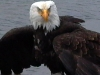 Cassiar Cannery - bald eagle