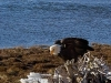 Cassiar Cannery - perching eagle 2