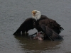 Cassiar Cannery - wildlife - wild america bald eagle 1