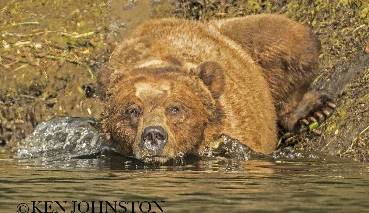 grizzly getting into the water copy.jpg