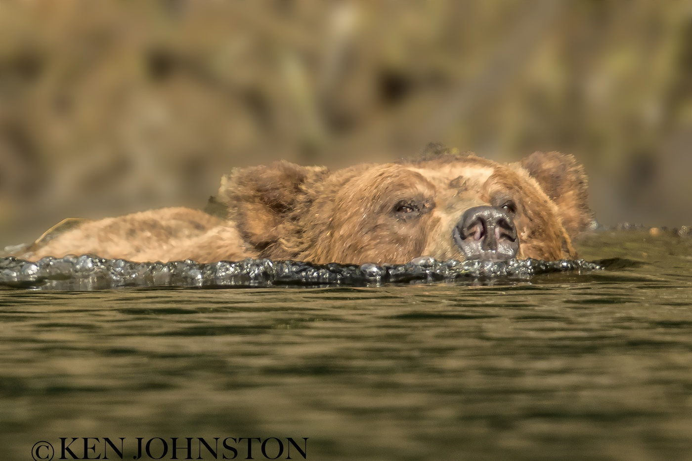 grizzly swimming copy.jpg
