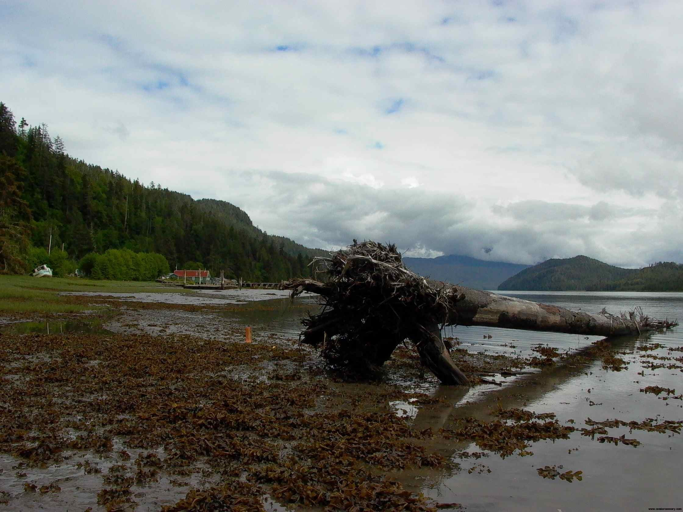 Cassiar Cannery: Sometimes we are lucky and the log comes right to us