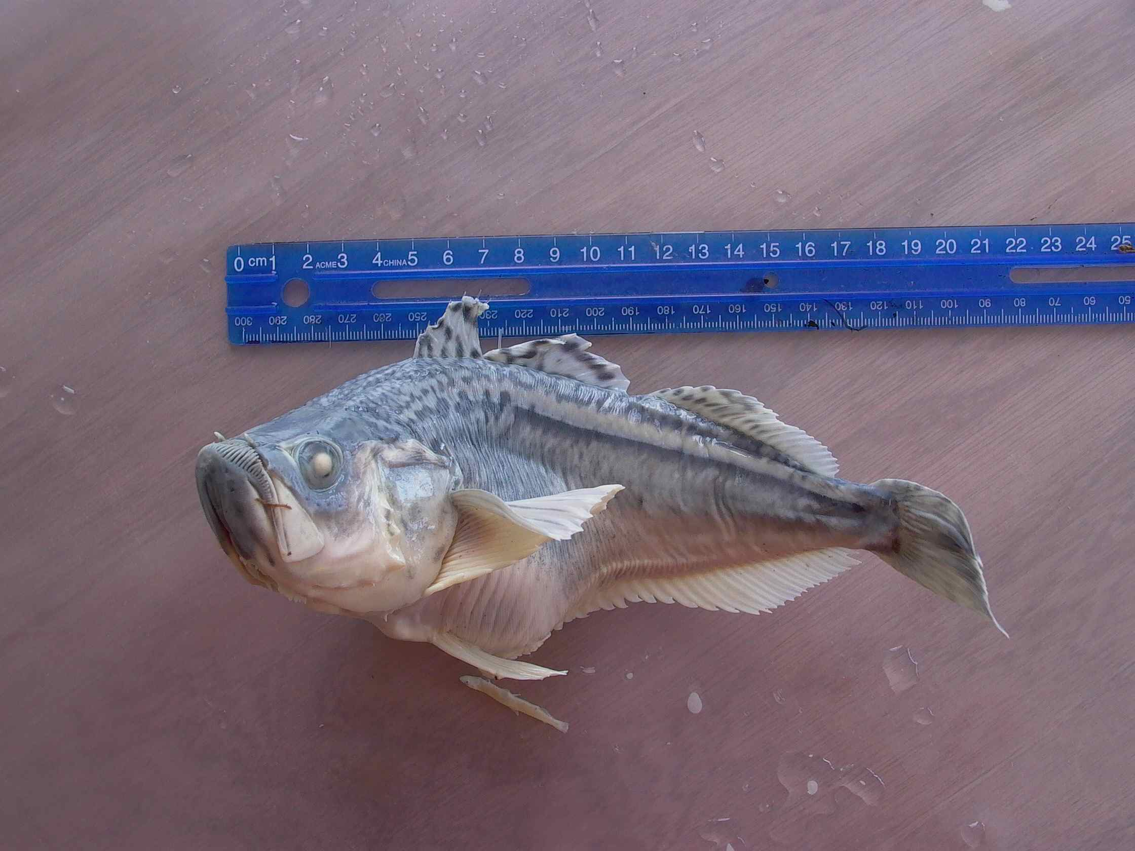 Cassiar Cannery - SERC - MB - JK - 2011/2012 - large sandfish