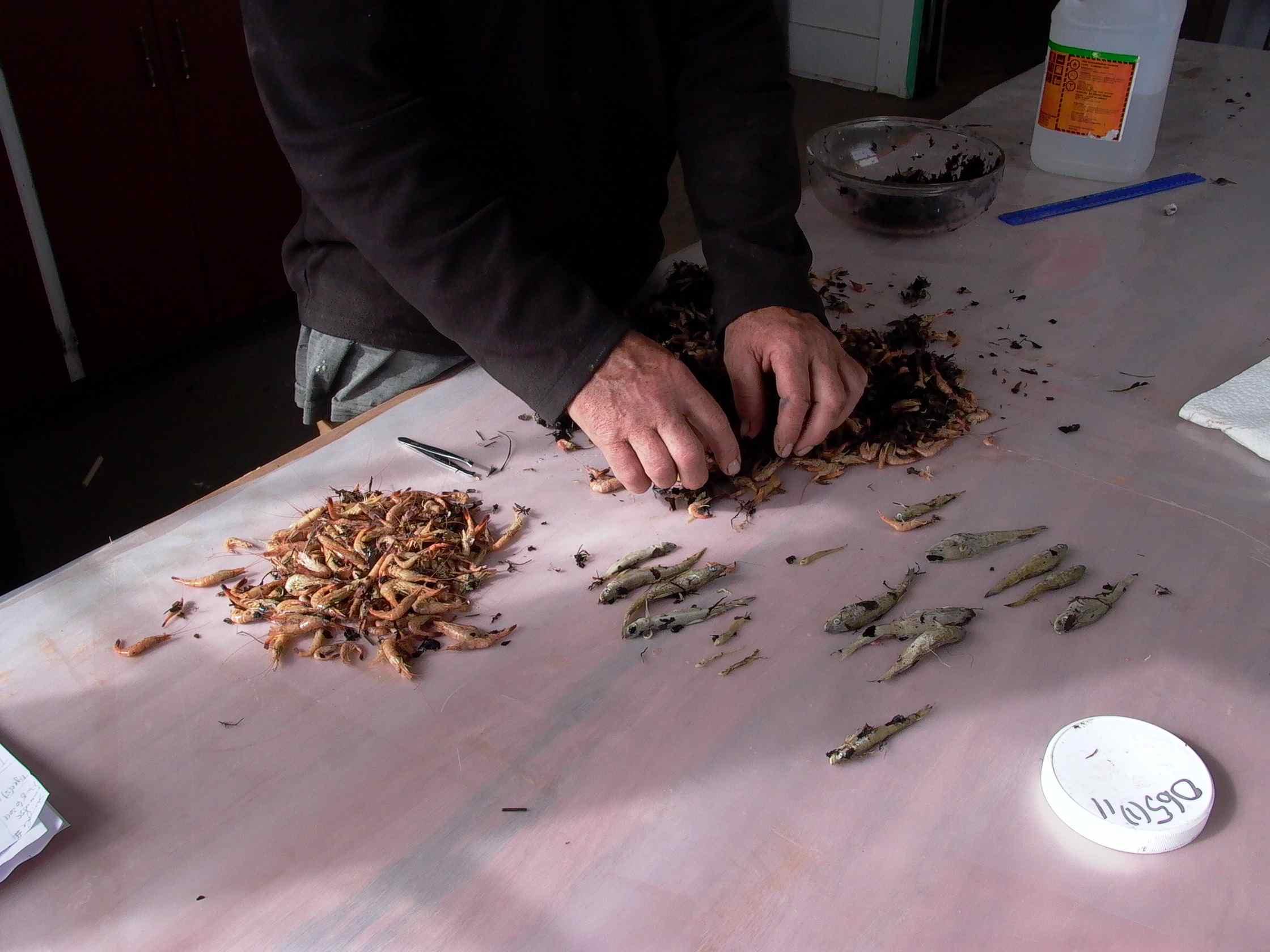 Cassiar Cannery - SERC - MB - JK - 2011/2012 - sorting huge samples
