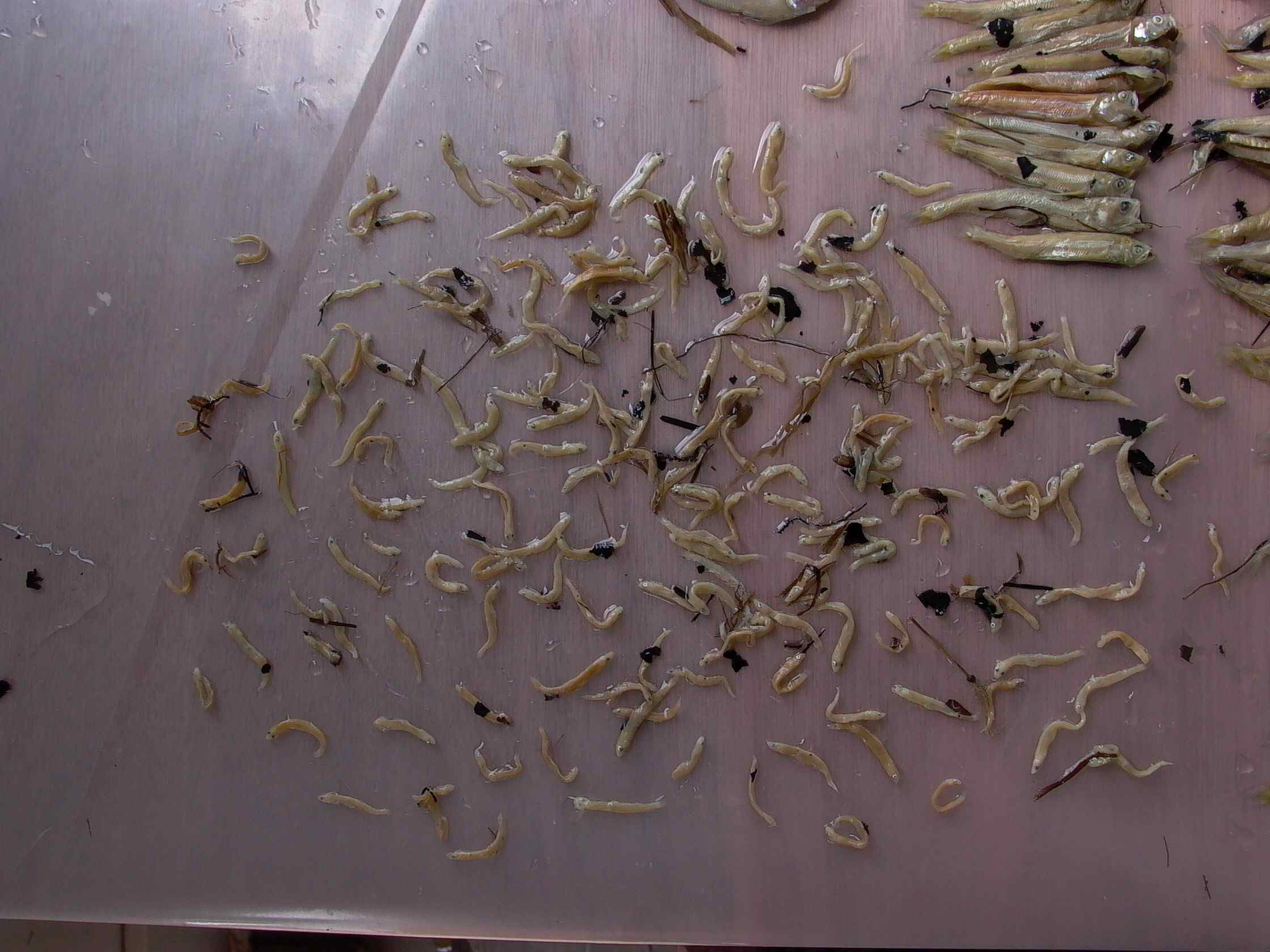 Cassiar Cannery - SERC - MB - JK - 2011/2012 - lots of long fin smelts in sample 22 (1) 2011
