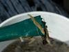 Cassiar Cannery - SERC - MB - JK - 2011/2012 - baby long fin smelt