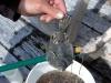 Cassiar Cannery - SERC - MB - JK - 2011/2012 - flounder with baby long fin smelt