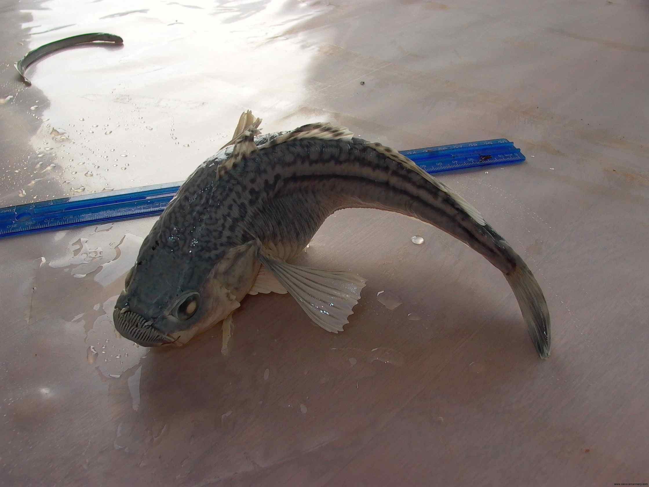 Cassiar Cannery - SERC - Marine Biology - Kelson - 2011/2012 - large sandfish 2