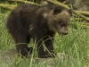 3 week grizz cub.jpg