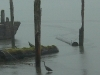 Cassiar Cannery - stillness is a hunting heron in the rain