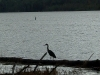Cassiar Cannery - Great Blue Heron hunting