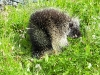 Cassiar Cannery - wildlife - visiting porcupine