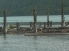 Cassiar Cannery - wildlife - sandpiper convention