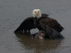 Cassiar Cannery - wildlife - wild america bald eagle 2