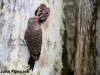Cassiar Cannery - Northern Flicker Feeding Young