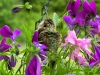 Cassiar Cannery - Wildlife - Hummingbird closeup