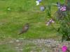 Cassiar Cannery - Wildlife - Ruby-throated Hummingbird