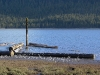 cassiar-cannery-wildlife-sandpipers